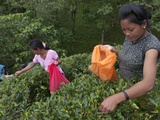 Women Plucking Tea  Fikkal  Nepal  Asia
