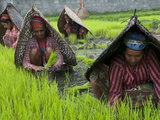 Female Farmers at Work in Rice Nursery  with Rain Protection  Annapurna Area  Pokhara  Nepal  Asia