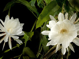 Queen of Night (Epiphyllum Oxypetalum)  Blooms Only Once at Midnight for Few Hours  Philippines