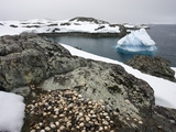 Limpet Shells on the Rocks at White Island  in the Antarctic Peninsula  Antarctica  Polar Regions
