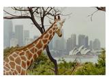 Giraffe at the Sydney Opera House