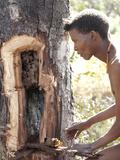 Jul'Hoan !Kung Bushman Extracts Honey from Bee Hive  Bushmanland  Kalahari Desert  Namibia