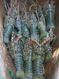 Fresh Lobster Catch in the Marovo Lagoon  Solomon Islands  Pacific