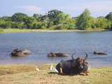 Domestic Asian Water Buffalo (Bubalus Bubalis) and Egrets  Yala National Park  Sri Lanka  Asia