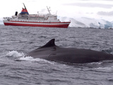 Humpback Whale in Front of Cruise Ship  Antarctica  Polar Regions
