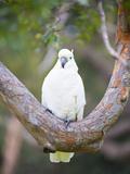 Sulphur-Crested Cockatoo (Cacatua Galerita) in Sydney Botanic Gardens  Sydney  Australia