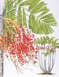 Mcarthur Palm