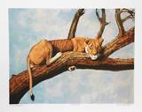 Lioness Sambaru
