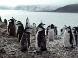 Chinstrap Penguins on the Shore  Hannah Point  Antarctica  Polar Regions