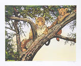 Leopards in Tree