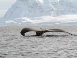 Humpback Whale Rising Out of the Sea  Antarctica  Polar Regions