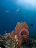 Barrel Sponges and Creole Wrasse  St Lucia  West Indies  Caribbean  Central America