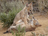 Swift Fox (Vulpes Velox) Kits Playing  Pawnee National Grassland  Colorado  USA  North America