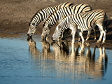 Trio of Common Zebras (Equus Burchelli) at a Water Hole  Etosha National Park  Namibia  Africa