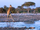 Giraffe (Giraffa Camelopardis)  Namibia  Africa