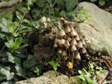 Granny's Bonnets Fungi (Mycena Inclinata) Growing from Rotten Treestump  Wiltshire  England