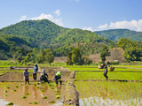 Lahu Tribe People Planting Rice in Rice Paddy Fields  Chiang Rai  Thailand  Southeast Asia  Asia