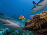 Caribbean Reef Shark (Carcharhinus Perezii) and Coral Reef Fish  Roatan  Bay Islands  Honduras