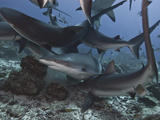 Caribbean Reef Shark (Carcharhinus Perezii) During Feeding Frenzy  Roatan  Bay Islands  Honduras