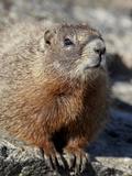 Yellow-Bellied Marmot (Marmota Flaviventris)  Shoshone Nat'l Forest  Wyoming  USA