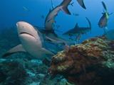 Caribbean Reef Shark (Carcharhinus Perezii)  Roatan  Bay Islands  Honduras  Caribbean