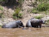 Hippopotamus (Hippopotamus Amphibius)  Masai Mara  Kenya  East Africa  Africa