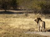 Lion (Panthera Leo)  Namibia  Africa