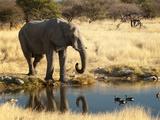 African Elephant (Loxodonta Africana)  World's Largest Land Animal  Etosha Nat'l Park  Namibia