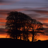 Clump of Trees at Sunrise  Avebury  Wiltshire  England  United Kingdom  Europe