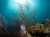 Reef Scene with Fan Coral and Vase Sponge  St Lucia  West Indies  Caribbean  Central America