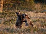 Two Sub-Adult Grizzly Bears (Ursus Arctos Horribilis)  Glacier National Park  Montana  USA