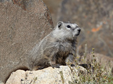 Young Grayish Yellow-Bellied Marmot (Marmota Flaviventris)  Shoshone Nat'l Forest  Wyoming  USA