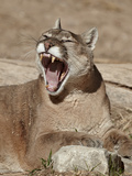 Mountain Lion (Puma Concolor)  Living Desert Zoo and Gardens State Park  New Mexico  USA