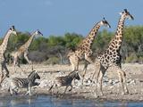 Giraffe (Giraffa Camelopardis) and Zebras (Equus Burchelli)  Etosha Nat'l Park  Namibia