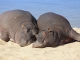Hippopotamus (Hippopotamus Amphibius) Sleeping  Kruger National Park  Mpumalanga  South Africa