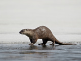 River Otter (Lutra Canadensis) on Frozen Yellowstone Lake  Yellowstone National Park  Wyoming  USA
