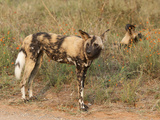 African Wild Dogs (Lycaon Pictus)  Kruger National Park  South Africa  Africa
