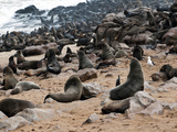 Cape Fur Seals (Arctocephalus Pusillus)  Cape Cross  Skeleton Coast  Kaokoland  Namibia