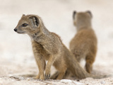Yellow Mongoose (Cynictis Penicillata) Subadults at Den  Kgalagadi Transfrontier Park  South Africa