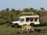 Lion (Panthera Leo) and Safari Vehicle  Masai Mara  Kenya  East Africa  Africa