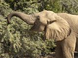 Desert Elephant (Loxodonta Africana)  Endemic to Namibia  Kaokoveld  Namibia