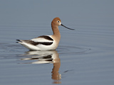 American Avocet (Recurvirostra Americana)  Yellowstone National Park  Wyoming  USA  North America