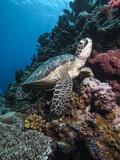 Green Turtle (Chelonia Mydas)  Sulawesi  Indonesia  Southeast Asia  Asia