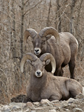 Two Bighorn Sheep (Ovis Canadensis) Rams During the Rut  Clear Creek County  Colorado  USA