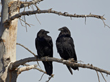 Common Raven (Corvus Corax) Pair  Yellowstone National Park  Wyoming  USA  North America