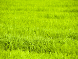 Rice Paddy Fields Near Chiang Rai  Thailand  Southeast Asia  Asia