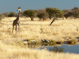 Giraffe (Giraffa Camelopardis) at Water Hole  World's Tallest Animal  Etosha National Park  Namibia