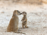 Yellow Mongoose (Cynictis Penicillata) with Young  Kgalagadi Transfrontier Park  South Africa
