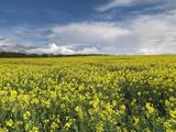 A Beautiful Spring View Showing a Rape Field Near Morston  Norfolk  England