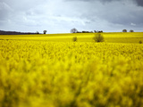 Rape Fields  Cambridgeshire  England  United Kingdom  Europe